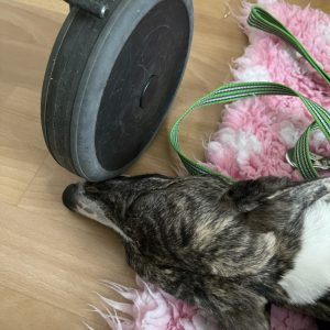 Finaste Terapihunden Greta i hemma