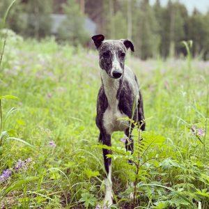 Finaste Terapihunden Greta i skogen
